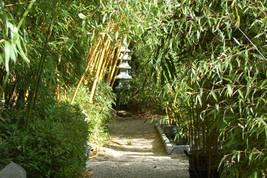 17 Jahre alte Bambushaine in unserem Schaugarten